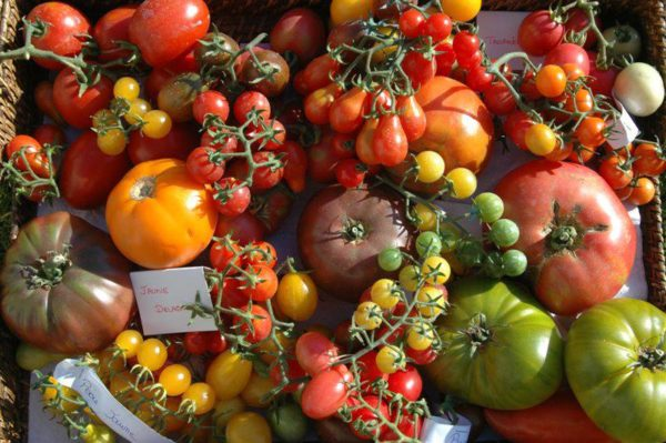 Festival of tomato and flavours