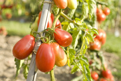 Tomatoes, Château of the Bourdaisière - S.FREMONT - ADT Touraine